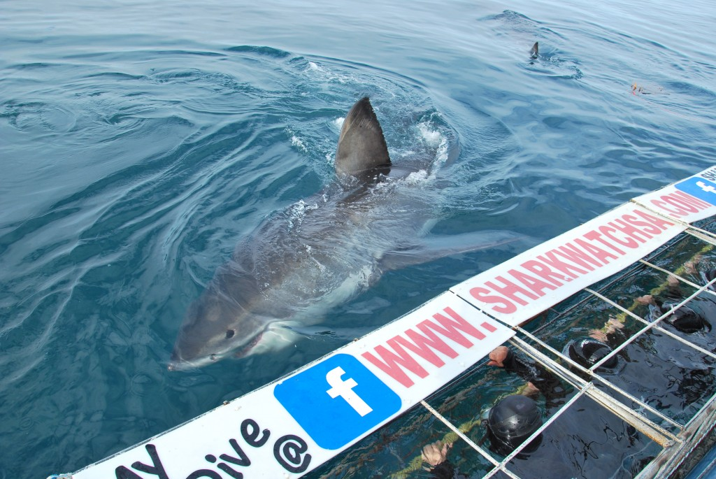 Marine Dynamics Great White Shark