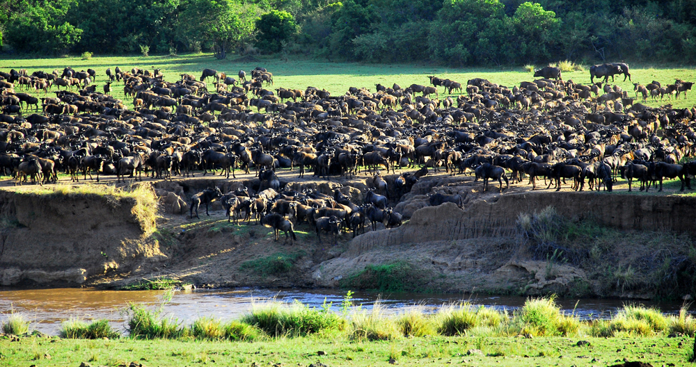 wildebeest herd  - small