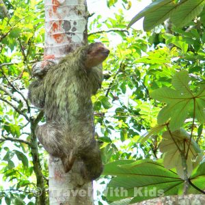 Sloth - Rio Penas Blancas, Costa Rica