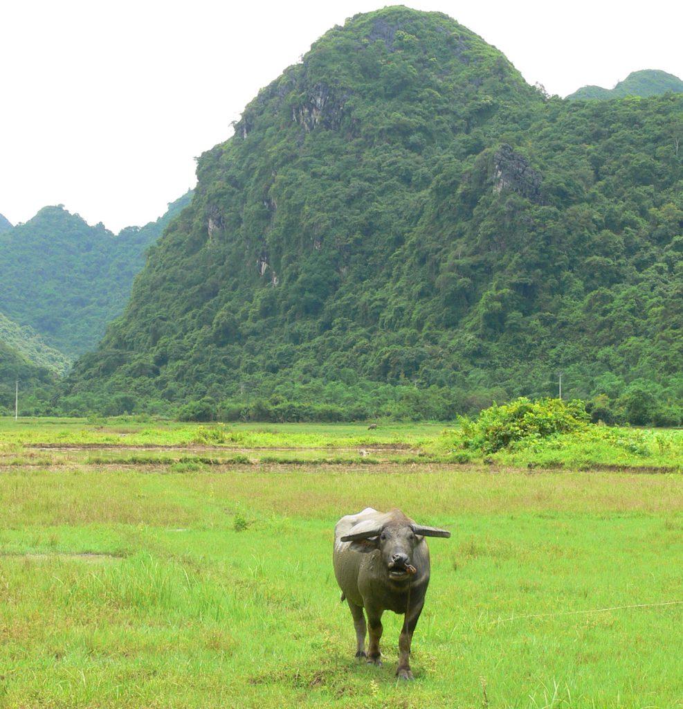 Water buffalo, Halong Bay, Vietnam