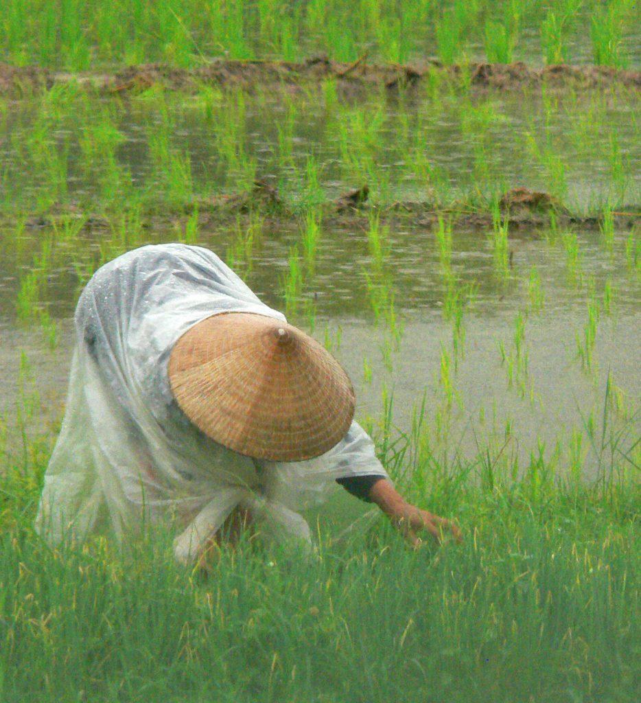 Woman picking rice, Vietnam