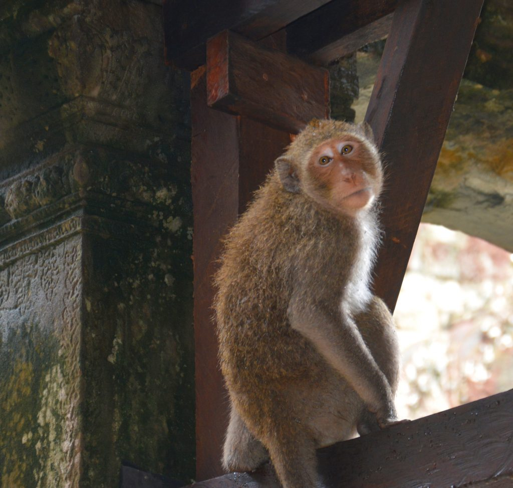 Monkey at Angkor Wat, Cambodia