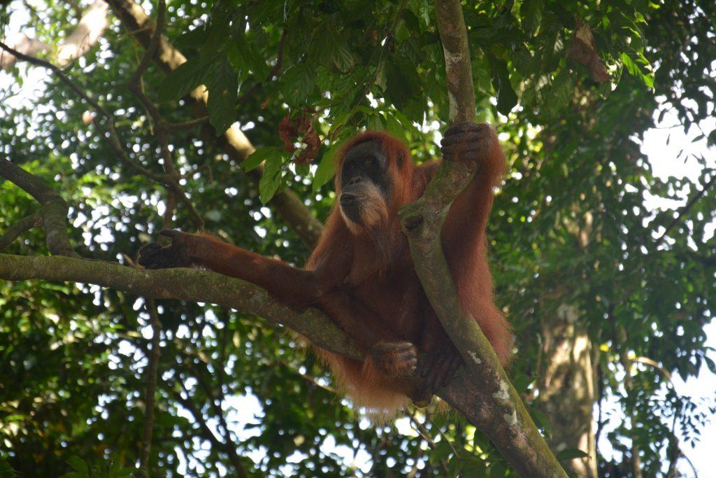 Orangutan, Gunung Leuser Park, Sumatra, Indonesia