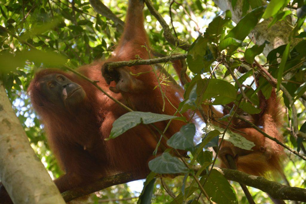 orangutans, sumatra, indonesia